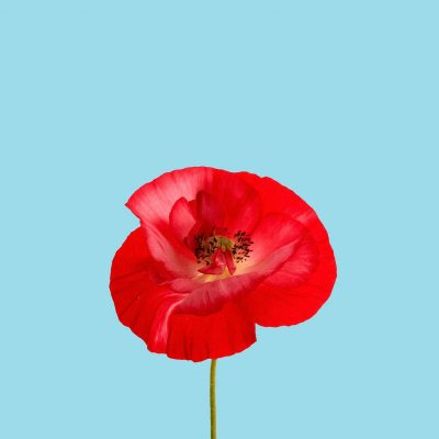 Light blue background with a red poppy